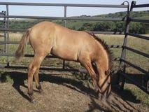 Cavalo novo que pawing a terra Fotografia de Stock