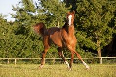 Cavalo novo que trota no pasto Foto de Stock Royalty Free