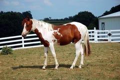 Cavalo - Palomino imagens de stock