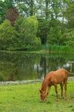 Cavalo pela associação Foto de Stock