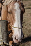 Cavalo pelo borne Fotos de Stock Royalty Free