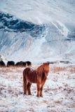 Cavalo peludo islandês típico que pasta na neve foto de stock royalty free