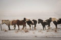 Cavalo peludo islandês típico que pasta no blizzard da neve fotografia de stock