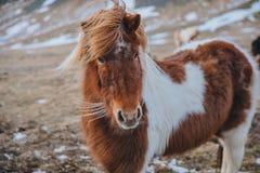 cavalo peludo marrom e branco bonito que olha a câmera no pasto foto de stock