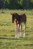 Cavalo pequeno Fotos de Stock Royalty Free