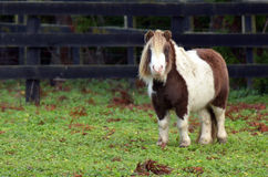 Cavalo pequeno do pônei Imagens de Stock