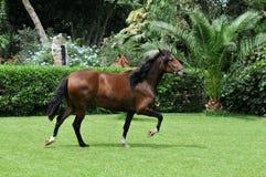 Cavalo peruano Imagens de Stock Royalty Free