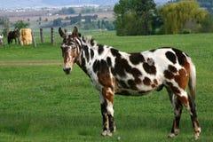 Cavalo pintado em um pasto verde imagens de stock
