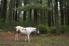 Cavalo pintado no pasto fotos de stock