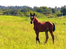 Cavalo - potro Imagem de Stock Royalty Free
