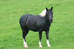 Cavalo preto Imagens de Stock Royalty Free