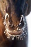 Cavalo preto Fotografia de Stock Royalty Free