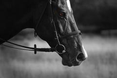 Cavalo preto Fotos de Stock
