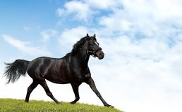 Cavalo preto Fotos de Stock Royalty Free