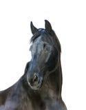 Cavalo preto bonito de hannover isolado no branco Imagens de Stock