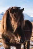 Cavalo preto do close-up, tiro principal Imagens de Stock