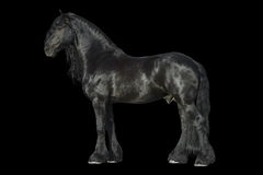 Cavalo preto do frisão isolado no preto Fotos de Stock Royalty Free