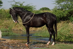 Cavalo preto do marwari Foto de Stock