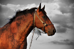 Cavalo preto e branco Fotos de Stock Royalty Free