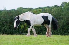 Cavalo preto e branco Imagem de Stock Royalty Free