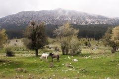 Cavalo preto e branco Fotografia de Stock Royalty Free