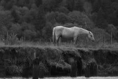 Cavalo preto e branco Imagens de Stock
