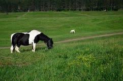 Cavalo preto e branco no campo Fotografia de Stock Royalty Free