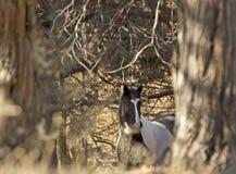 Cavalo preto e branco que espreita para fora da floresta Imagens de Stock Royalty Free