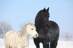 Cavalo preto e pônei branco junto Fotos de Stock Royalty Free