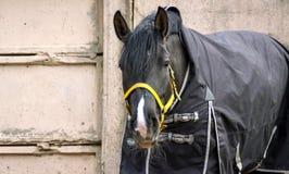 Cavalo preto em uma cobertura em um fundo de muros de cimento cinzentos imagem de stock