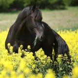 Cavalo preto lindo do frisão no campo da couve-nabiça fotografia de stock royalty free