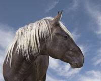 Cavalo preto marrom bonito com juba loura Imagem de Stock Royalty Free
