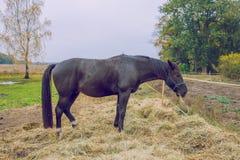 Cavalo preto no outono, comendo a grama Foto 2018 do curso imagem de stock royalty free
