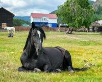 Cavalo preto no prado fotografia de stock royalty free
