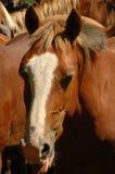 Cavalo principal imagem de stock