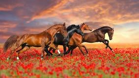 Cavalo quatro em flores da papoila foto de stock