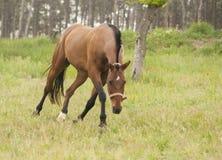 Cavalo que anda na floresta Foto de Stock