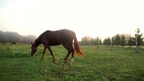 Cavalo que anda no pasto na exploração agrícola animal Rebanho dos cavalos que pastam no campo verde video estoque