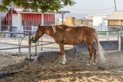 Cavalo que bebe no cerco da exploração agrícola fotografia de stock