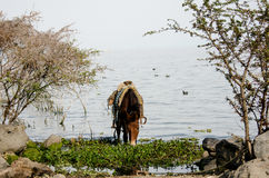 Cavalo que bebe no lago Fotografia de Stock