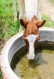 Cavalo que come a água imagem de stock royalty free