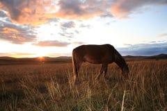 Cavalo que come garss Fotos de Stock