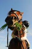 Cavalo que come a grama Fotos de Stock