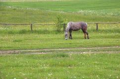 Cavalo que come a grama Fotos de Stock Royalty Free