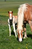 Cavalo que come a grama e o potro Fotografia de Stock