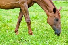 Cavalo que come a grama em um prado Fotografia de Stock
