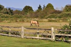 Cavalo que come a grama em um rancho foto de stock royalty free