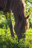 Cavalo que come no selvagem Foto de Stock