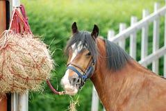Cavalo que come o feno Fotos de Stock