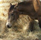 Cavalo que come o feno Imagens de Stock Royalty Free